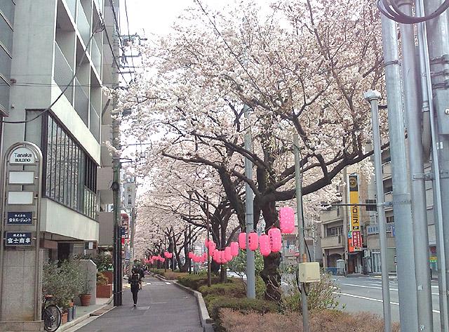 千川通り桜並木3